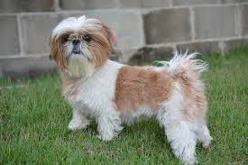 How Much Exercise Does A Shih Tzu Need