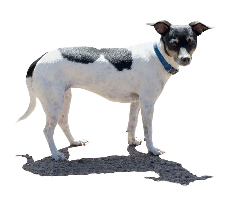 Rat Terrier and his shadow